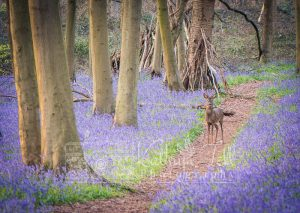 BLUEBELLs Deer photos_20.4.16 _001-4